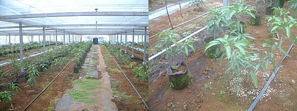 mango-2009-11-19.jpg
